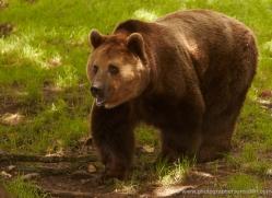 brown-bear-european-4015-dartmoor-copyright-photographers-on-safari-com