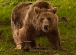 brown-bear-european-4018-dartmoor-copyright-photographers-on-safari-com