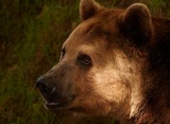 brown-bear-european-4019-dartmoor-copyright-photographers-on-safari-com
