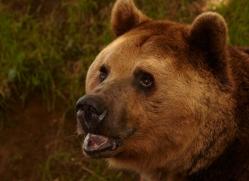 brown-bear-european-4020-dartmoor-copyright-photographers-on-safari-com