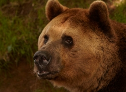 brown-bear-european-4021-dartmoor-copyright-photographers-on-safari-com