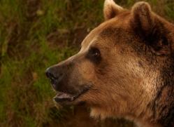 brown-bear-european-4022-dartmoor-copyright-photographers-on-safari-com