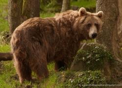 brown-bear-european-4023-dartmoor-copyright-photographers-on-safari-com