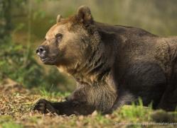 brown-bear-european-4025-dartmoor-copyright-photographers-on-safari-com