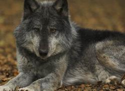 wolf-4089-dartmoor-copyright-photographers-on-safari-com
