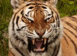 amur-tiger-4058-dartmoor-copyright-photographers-on-safari-com