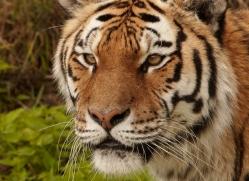 amur-tiger-4059-dartmoor-copyright-photographers-on-safari-com