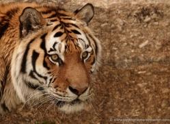 amur-tiger-4060-dartmoor-copyright-photographers-on-safari-com