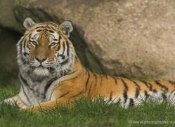 amur-tiger-4062-dartmoor-copyright-photographers-on-safari-com