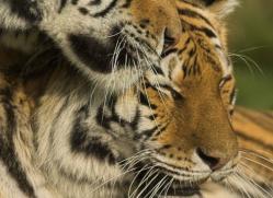 amur-tiger-4066-dartmoor-copyright-photographers-on-safari-com