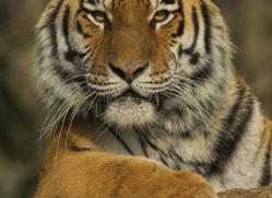 amur-tiger-4067-dartmoor-copyright-photographers-on-safari-com
