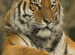 amur-tiger-4068-dartmoor-copyright-photographers-on-safari-com