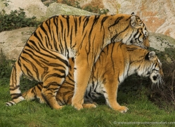 amur-tiger-4072-dartmoor-copyright-photographers-on-safari-com