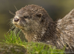 asian-short-clawed-otter-4076-dartmoor-copyright-photographers-on-safari-com
