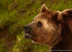 brown-bear-european-4016-dartmoor-copyright-photographers-on-safari-com