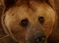 brown-bear-european-4017-dartmoor-copyright-photographers-on-safari-com