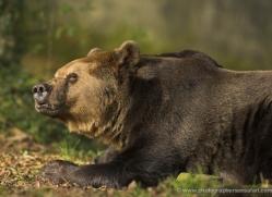 brown-bear-european-4024-dartmoor-copyright-photographers-on-safari-com