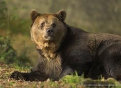 brown-bear-european-4026-dartmoor-copyright-photographers-on-safari-com