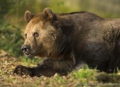 brown-bear-european-4027-dartmoor-copyright-photographers-on-safari-com