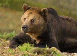 brown-bear-european-4029-dartmoor-copyright-photographers-on-safari-com