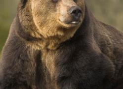 brown-bear-european-4031-dartmoor-copyright-photographers-on-safari-com