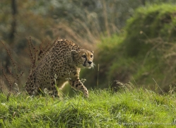 cheetah-3956-dartmoor-copyright-photographers-on-safari-com