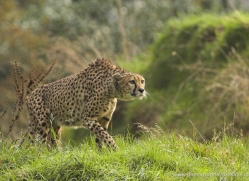 cheetah-3957-dartmoor-copyright-photographers-on-safari-com