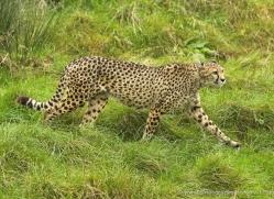 cheetah-3959-dartmoor-copyright-photographers-on-safari-com