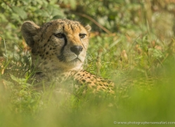 cheetah-3961-dartmoor-copyright-photographers-on-safari-com