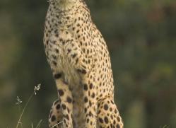 cheetah-3962-dartmoor-copyright-photographers-on-safari-com