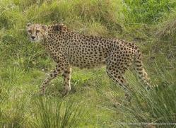 cheetah-3966-dartmoor-copyright-photographers-on-safari-com