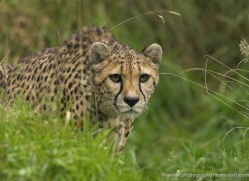 cheetah-3967-dartmoor-copyright-photographers-on-safari-com