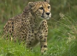 cheetah-3968-dartmoor-copyright-photographers-on-safari-com