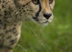 cheetah-3972-dartmoor-copyright-photographers-on-safari-com