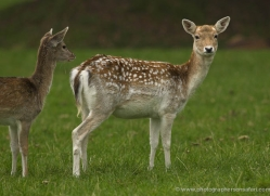deer-4094-dartmoor-copyright-photographers-on-safari-com