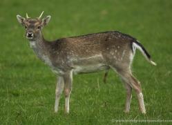 deer-4096-dartmoor-copyright-photographers-on-safari-com