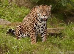 jaguar-3977-dartmoor-copyright-photographers-on-safari-com
