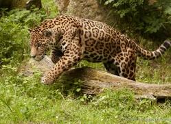 jaguar-3981-dartmoor-copyright-photographers-on-safari-com