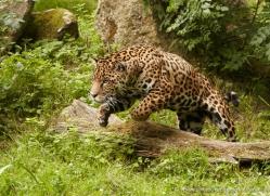 jaguar-3982-dartmoor-copyright-photographers-on-safari-com