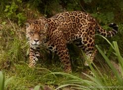 jaguar-3987-dartmoor-copyright-photographers-on-safari-com