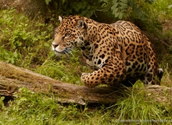 jaguar-3993-dartmoor-copyright-photographers-on-safari-com