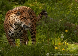 jaguar-3995-dartmoor-copyright-photographers-on-safari-com