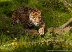 jaguar-3996-dartmoor-copyright-photographers-on-safari-com