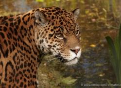 jaguar-3997-dartmoor-copyright-photographers-on-safari-com