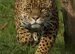 jaguar-3998-dartmoor-copyright-photographers-on-safari-com