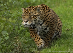 jaguar-3999-dartmoor-copyright-photographers-on-safari-com
