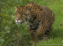 jaguar-4000-dartmoor-copyright-photographers-on-safari-com
