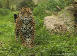 jaguar-4001-dartmoor-copyright-photographers-on-safari-com