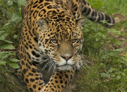 jaguar-4004-dartmoor-copyright-photographers-on-safari-com