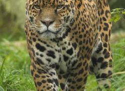 jaguar-4006-dartmoor-copyright-photographers-on-safari-com